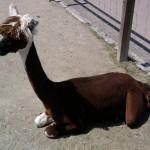 Eines der drei Alpakas, welche Patienten wie auch Besuchern der EPI-Klinik Freude bereiten.